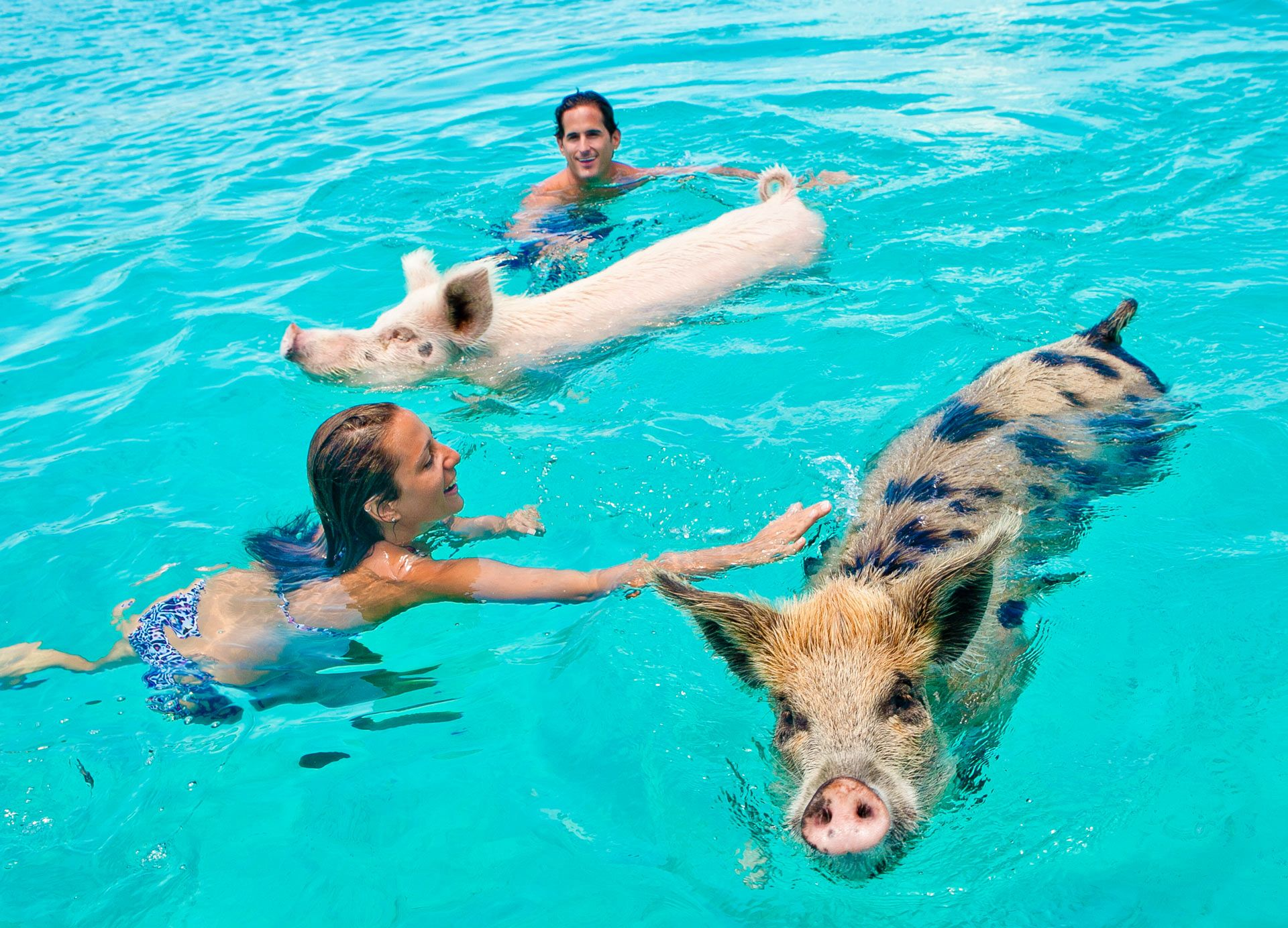 Petting the swimming pigs