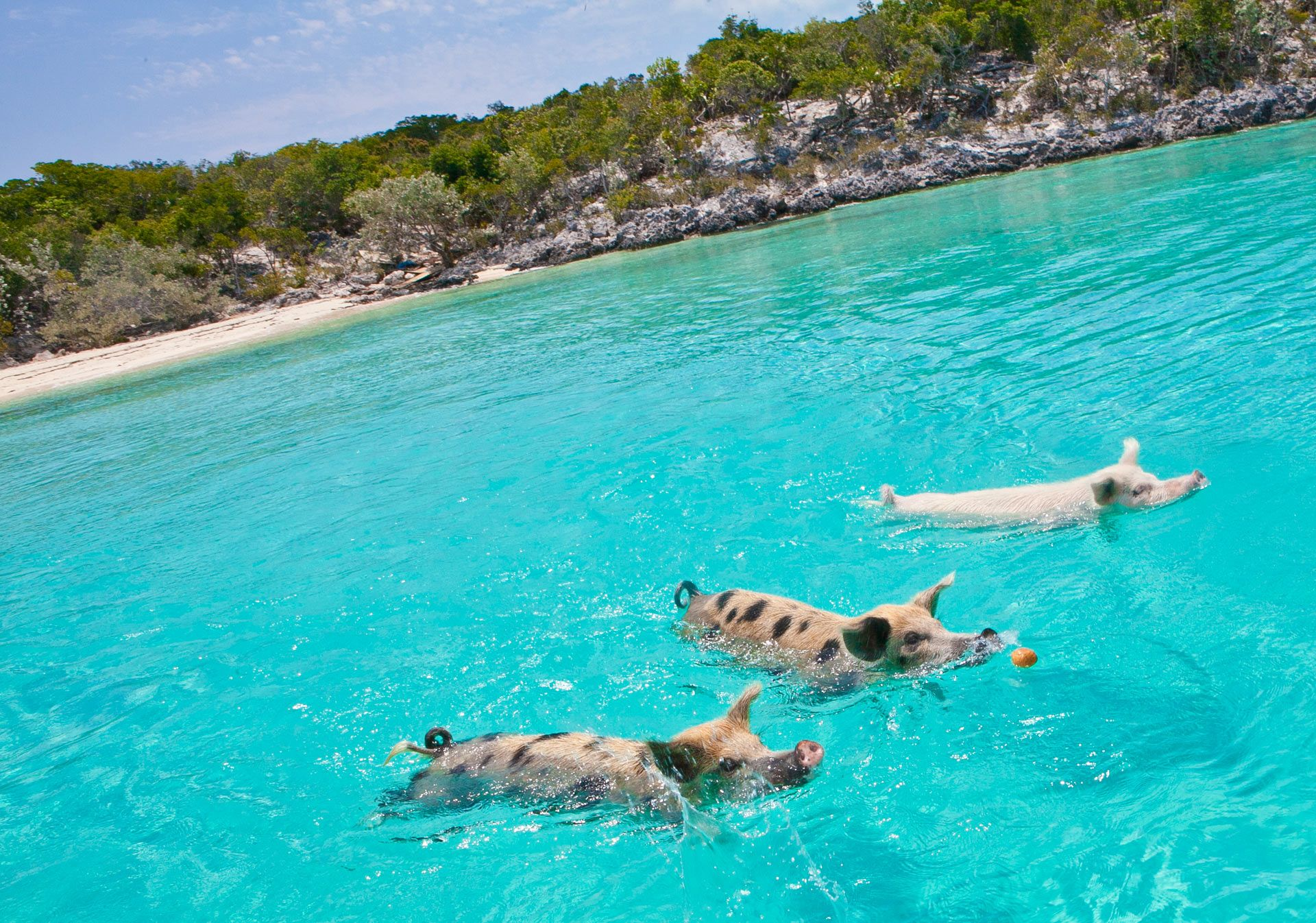 Three swimming pigs in Exuma