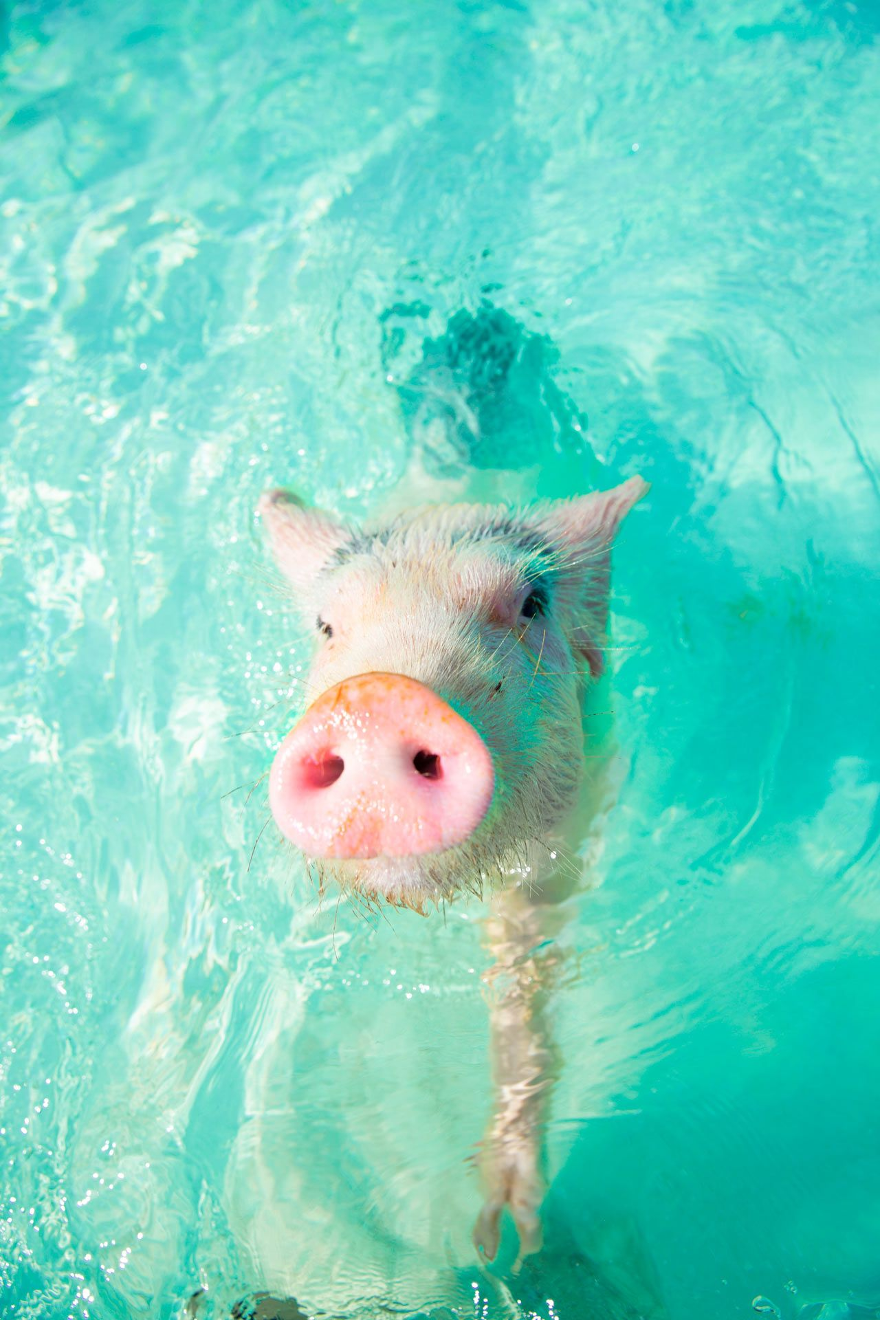 Swimming pig on pig island