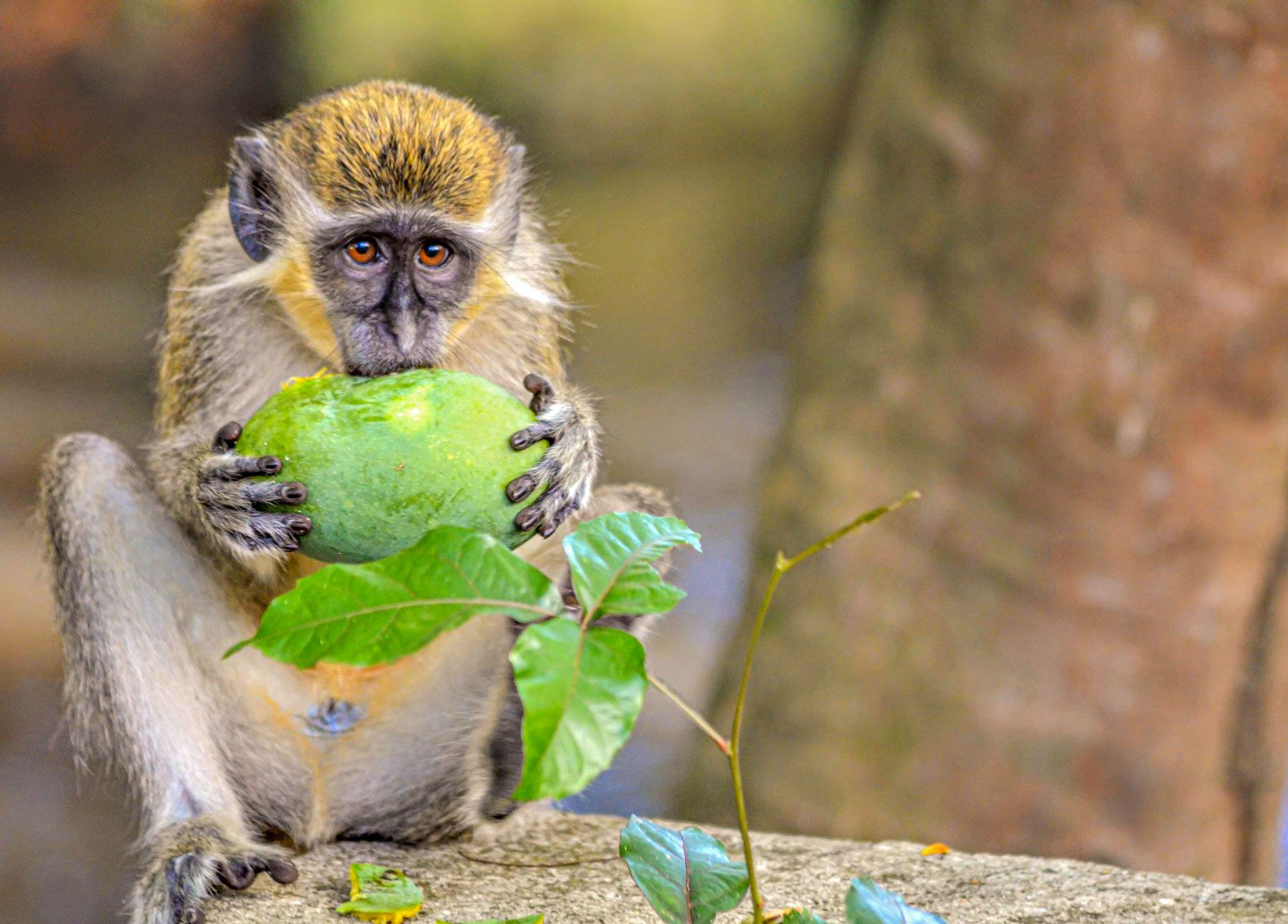 barbados green monkey eating fruit