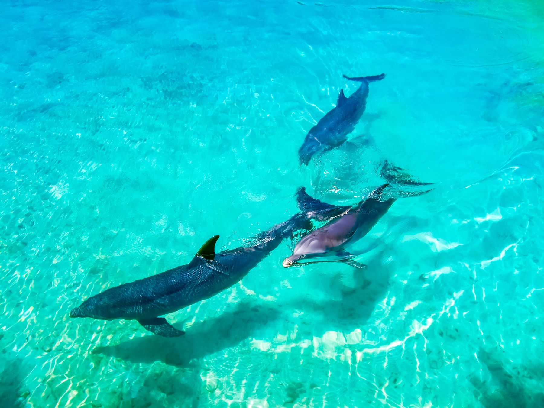 Dolphins Swimming Bahamas