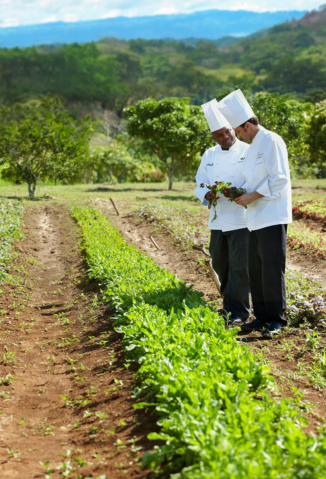 Sandals Chefs picking local lettuces