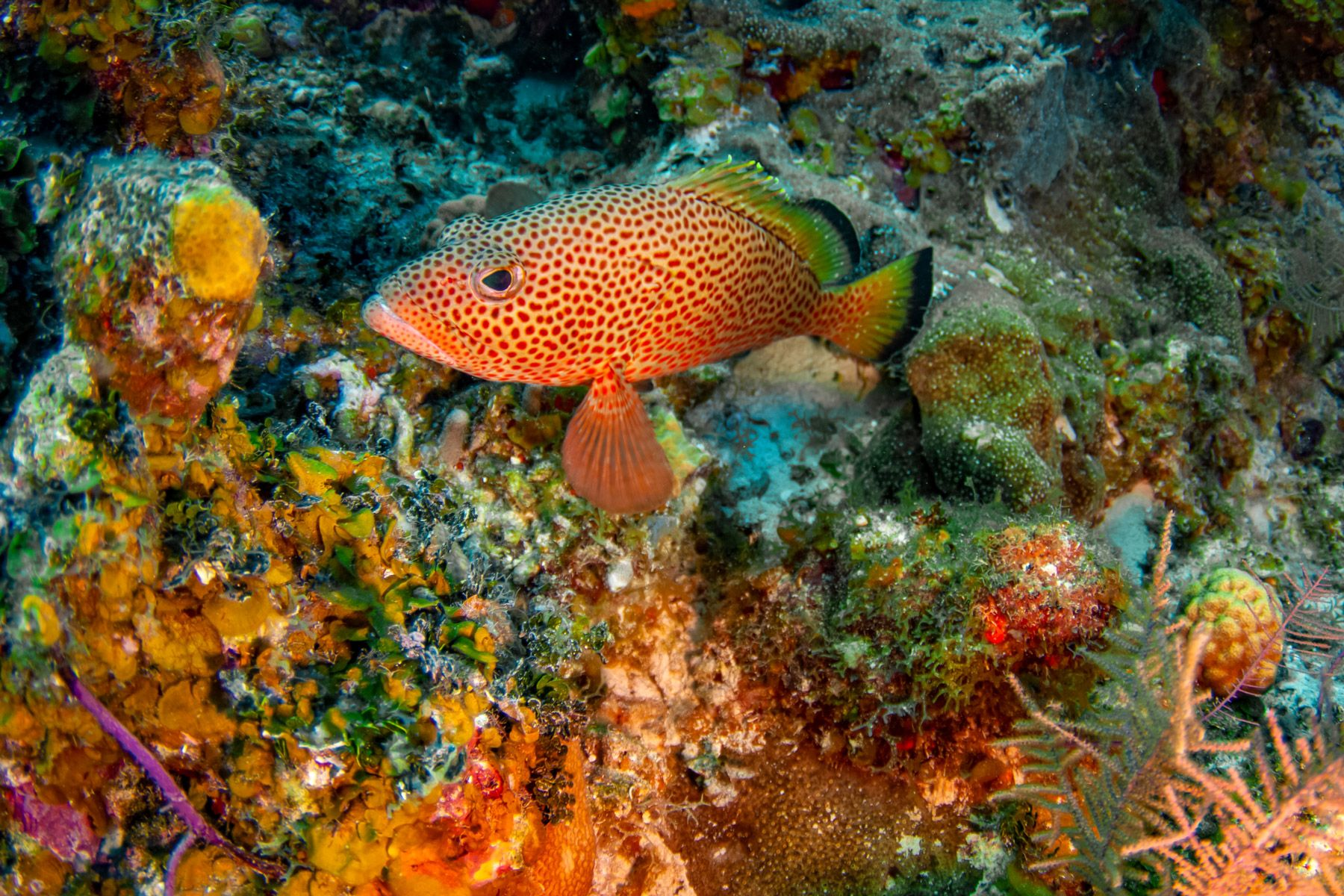 Red Hind grouper turks caicos