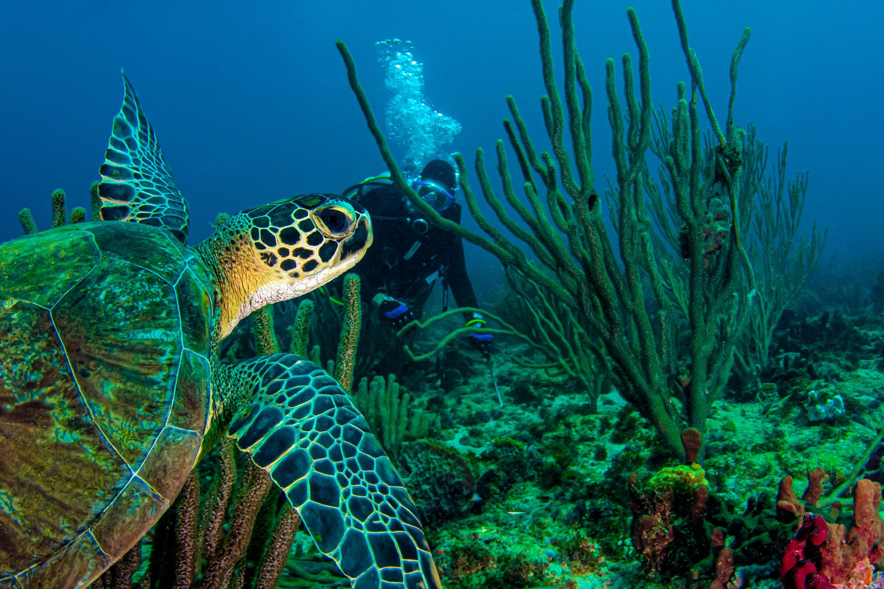green sea turtle swims across a colorful Caribbean reef in Grenada, West Indies