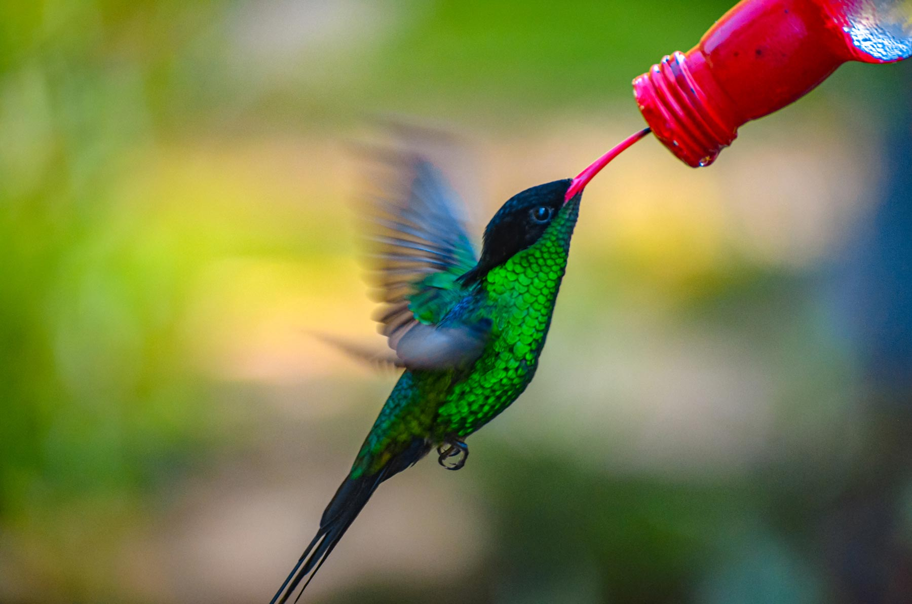 Red Billed Streamertail Hummingbird