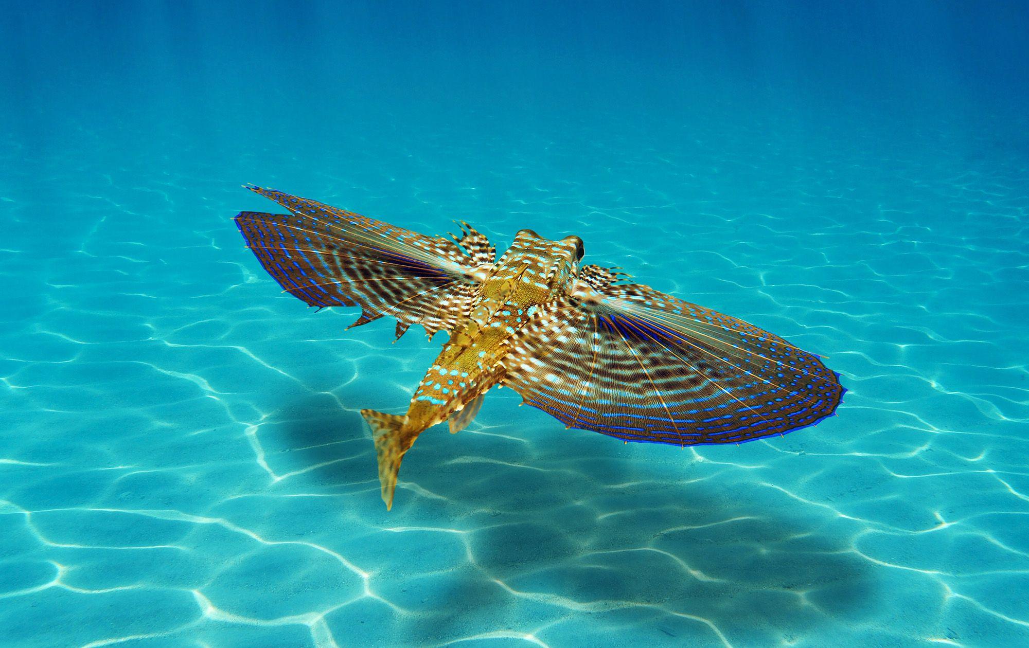 Flying Gurnard Scuba Dive