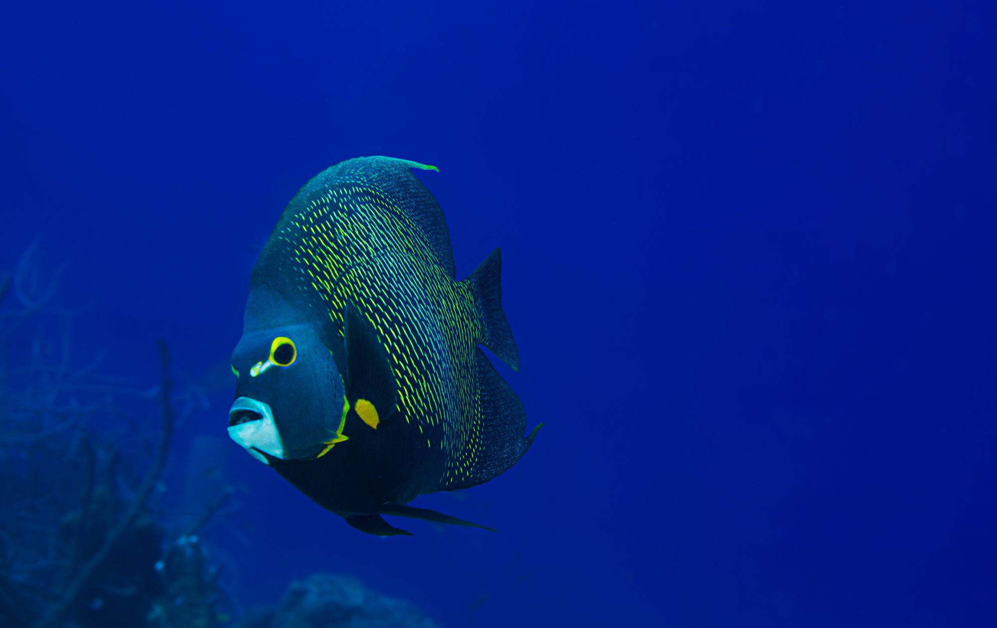 French Angel Fish Scuba Dive