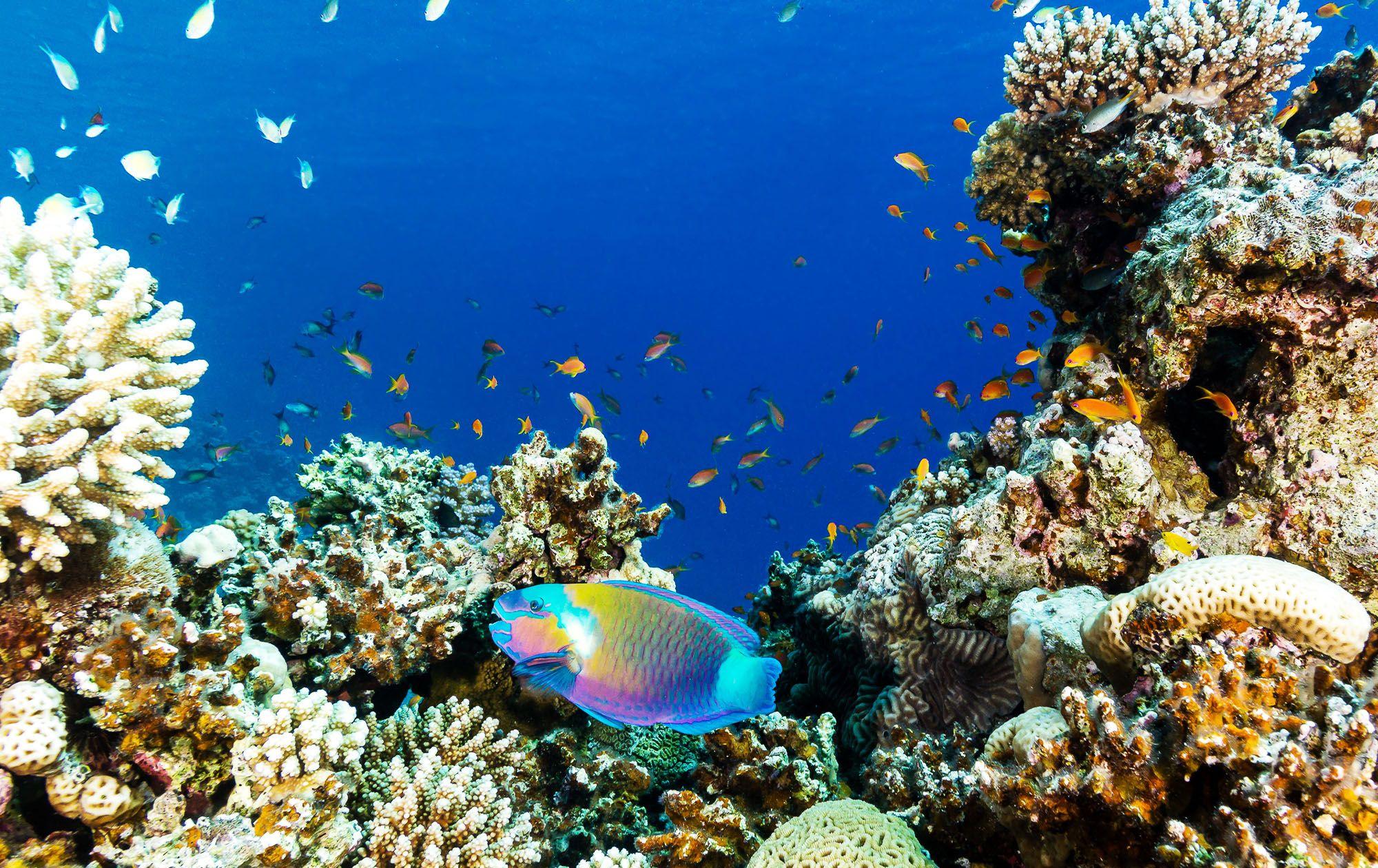 Parrot Fish Scuba Dive Coral Reef